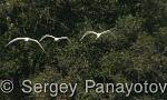 Eurasian Spoonbill/Platalea leucorodia - Cameraman: Sergey Panayotov