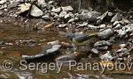 Grey Wagtail/Motacilla cinerea - Cameraman: Sergey Panayotov