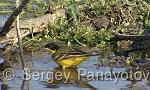 Yellow Wagtail/Motacilla flava - Cameraman: Sergey Panayotov