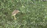 Black-crowned Night-heron/Nycticorax nycticorax - Cameraman: Sergey Panayotov