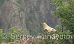 Egyptian Vulture/Neophron percnopterus - Cameraman: Sergey Panayotov
