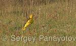 Eurasian Golden-oriole/Oriolus oriolus - Cameraman: Sergey Panayotov