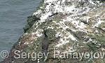 European Shag/Phalacrocorax aristotelis - Cameraman: Sergey Panayotov