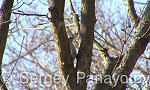 Сив кълвач/Picus canus - Оператор: Sergey Panayotov