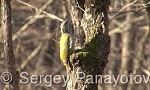 Grey-headed Woodpecker/Picus canus - Cameraman: Sergey Panayotov