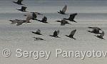 Great Cormorant/Phalacrocorax carbo - Cameraman: Sergey Panayotov