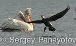 Голям корморан/Phalacrocorax carbo - Оператор: Sergey Panayotov