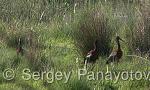 Glossy Ibis/Plegadis falcinellus - Cameraman: Sergey Panayotov