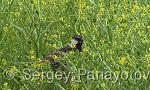 Spanish Sparrow/Passer hispaniolensis - Cameraman: Sergey Panayotov