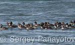Black-necked Grebe/Podiceps nigricollis - Cameraman: Sergey Panayotov