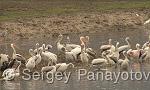 Great White Pelican/Pelecanus onocrotalus - Cameraman: Sergey Panayotov