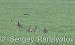 Grey Partridge/Perdix perdix - Cameraman: Sergey Panayotov