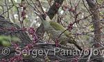 Зелен кълвач/Picus viridis - Оператор: Sergey Panayotov