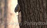 Wood Nuthatch/Sitta europaea - Cameraman: Sergey Panayotov