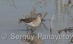 Green Sandpiper/Tringa ochropus - Cameraman: Sergey Panayotov