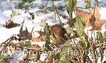 Winter Wren/Troglodytes troglodytes - Cameraman: Sergey Panayotov