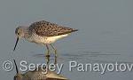 Marsh Sandpiper/Tringa stagnatilis - Cameraman: Sergey Panayotov