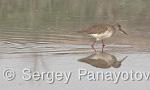 Common Redshank/Tringa totanus - Cameraman: Sergey Panayotov