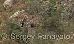 Eurasian Hoopoe/Upupa epops - Cameraman: Sergey Panayotov