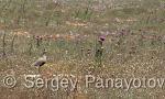 Sociable Lapwing/Vanellus gregarius - Cameraman: Sergey Panayotov