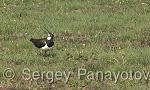 Northern Lapwing/Vanellus vanellus - Cameraman: Sergey Panayotov