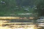 Whiskered Tern/Chlidonias hybridus - Cameraman: Любомир Андреев - Лу_пи