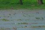 White-winged Tern/Chlidonias leucopterus - Cameraman: Любомир Андреев - Лу_пи
