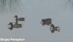 Ferruginous Duck/Aythya nyroca - Cameraman: Sergey Panayotov