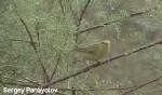 Willow Warbler/Phylloscopus trochilus - Cameraman: Sergey Panayotov