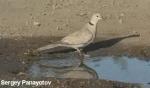 Eurasian Collared-dove/Streptopelia decaocto - Cameraman: Sergey Panayotov