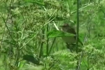 Marsh Warbler/Acrocephalus palustris - Cameraman: Любомир Андреев - Лу_пи