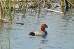 Common Pochard/Aythya ferina - Cameraman: Любомир Андреев - Лу_пи