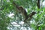 Black-crowned Night-heron/Nycticorax nycticorax - Cameraman: Любомир Андреев - Лу_пи