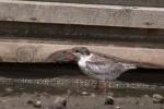 Common Tern/Sterna hirundo - Cameraman: Любомир Андреев - Лу_пи