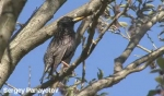 Common Starling/Sturnus vulgaris - Cameraman: Sergey Panayotov