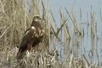 Western Marsh-harrier/Circus aeruginosus - Cameraman: Любомир Андреев - Лу_пи